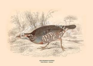 ROCK OR BARBARY PARTRIDGE = Perdix Petrosa -- Linnaeus
